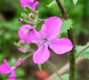 lunaria-fiore
